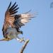 Osprey 7_20 (krisinct- Thanks for 15 Million views!) Tags: nikon d500 500 f4 vrg