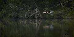 Graceful in flight (Valley Imagery) Tags: flood creek leonardtown maryland usa water heron flight nature sony a99ii