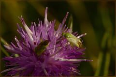 potato capsid calocoris norwegicus (2) (bobspicturebox) Tags: himalayan balsam lady bird bugs slow worm musk beetle potato capsid shield bug larva snail fungus