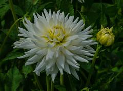 Dahlia White Star (frankmh) Tags: plant flower dahlia dahliawhitestar sofiero sofierocastlegarden helsingborg skåne sweden macro