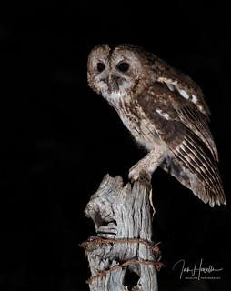 Tawny owl with prey