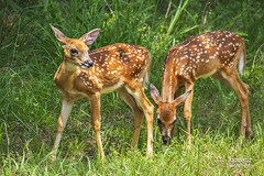 Baby Deer - Long Hunter State Park - Hermitage, TN (J.L. Ramsaur Photography) Tags: jlrphotography nikond7200 nikon d7200 photography photo hermitagetn middletennessee davidsoncounty tennessee 2018 engineerswithcameras babydeer photographyforgod thesouth southernphotography screamofthephotographer ibeauty jlramsaurphotography photograph pic hermitage tennesseephotographer hermitagetennessee nature outdoors macro macrophotography closeupphotography closeup god'sartwork nature'spaintbrush deer fawn spots animal babyanimal ruralsouth rural ruralamerica ruraltennessee ruralview longhunterstatepark statepark tennesseestatepark longhunter established1976 longhunterpark park tennesseestateparks tennesseedepartmentofenvironmentconservation tdec