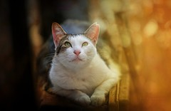dialog with the above.. (salihseviner) Tags: cats animal dialogue portrait