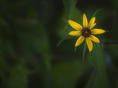 Black Eyed Susan..... (Kevin Povenz Thanks for all the views and comments) Tags: 2018 july kevinpovenz westmichigan michigan ottawa ottawacounty ottawacountyparks grandravinesnorth blackeyedsusan flower wildflower yellow green canon7dmarkii sigma24105art outside outdoors