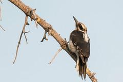 DSC_9245.jpg Hairy Woodpecker, Echo Summit (ldjaffe) Tags: echosummit hairywoodpecker