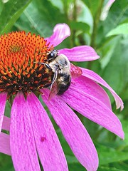 The Bee and the Coneflower (Scorpiol13) Tags: iphonetoday perennial pink delicate fragility growth blossom bloom summer freshness macro mobiography iphoneography outdoors nature seeds petals pollination pollen coneflower echinacea flower bumblebee bee