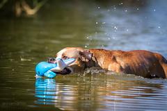 2018-07-31 (annamarias.) Tags: pitbull pit bull bulldog terrier dog pet animal haustier hund schwimmen schwimmt wasser water swim swimming hot heis see lake sea fluss river meer pond