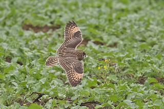 Brandugla-Short eared Owl-Asio flammeus