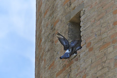 Wendy, sono a casa! (davide.alberani) Tags: imola parco park rocca uccelli birds flying sony a6000