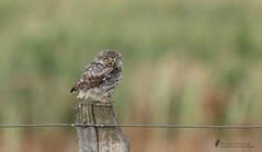 Steinkautz ( Athene noctua ) (normen.nikon) Tags: d500 bird eule vogel kautz natur wildlife 200500 berlebach manfrotto tiere vögel