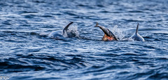 Doon the hatch (scottishkennyg) Tags: dolphins salmon blackisle scotland