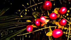 background, wallpaper, hintergrundbild (free) (lucianomandolina) Tags: pflanze blume blüte schön plant flower bloom beautiful sexy erotic rot red blue blau