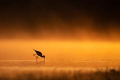 On Fire (PeterBrannon) Tags: bird blackneckedstilt florida himantopusmexicanus longlegs marsh nature wadingbird wildlife morning foggy sunrise light