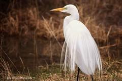White egret (Gaby Swanson, Photographer) Tags: egret ohioegretwhite mageemarshwildlifearea whiteegret nature naturephotography ohiobirds birdsatlakeerie birds ohio