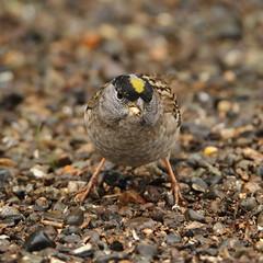 Golden-crowned Sparrow,  Zonotrichia atricapilla (jlcummins - Washington State) Tags: bird home yakimacounty tamronsp150600mmf563divcusd fauna washingtonstate wildlife nature