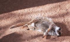 Meerkat enjoying the sun at the Adelaide Zoo (|Sarah|) Tags: mammal layingdown photography sunbaking meerkat adelaidezoo southaustralia canon1200d adelaide animal