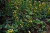 1462-05L (Lozarithm) Tags: oldforge gardens flowers flora lamium deadnettle pentax zoom 1855 smcpda1855mmf3556alwr