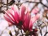 4084ex  pink magnolia (jjjj56cp) Tags: flowers blossoms blooms buds pink magnolia pinkmagnolia spring springtime springblossoms springgrove cincinnati oh ohio p900 jennypansing dof closeup macro