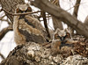 Great Horned Owlets (watertownshelby) Tags: owl watertown