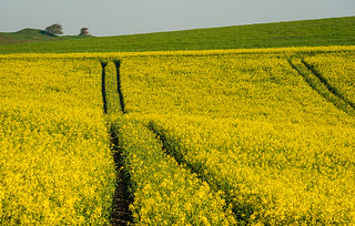 Canola on Brading Down