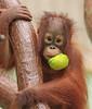 orangutan Suria Krefeld BB2A5514 (j.a.kok) Tags: orangutan orangoetan orang animal aap asia azie ape mammal monkey mensaap primaat primate krefeld suria zoogdier dier
