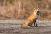 Red Fox - Vulpes vulpes | 2018 - 1 (RGL_Photography) Tags: carnivora fox foxkits gardenstate jerseyshore kits monmouthcounty mothernature newjersey nikonafs600mmf4gedvr nikond500 redfox us unitedstates vulpesvulpes wildkingdom wildlife wildlifephotography
