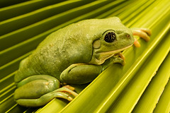 Pensive Frog (fenicephoto) Tags: red