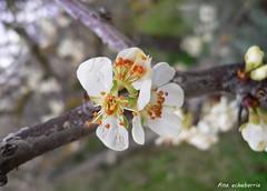 Flor del ciruelo (kirru11) Tags: flordelciruelo rama árbol quel larioja españa kirru11 anaechebarria canonpowershot