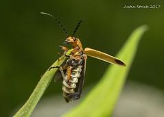 Soldier Beetle 6 (strjustin) Tags: soldierbeetle beetle leatherwing insect bug macro