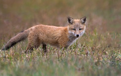 Curious Kit (Ania Tuzel Photography) Tags: redfox wild nature kit younganimal delaware fox
