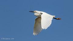 Snowy Egret with nesting materials (Bob Gunderson) Tags: alamedacounty bayfarmisland birds california eastbay egrets egrettathula northerncalifornia snowyegret wadingbirds