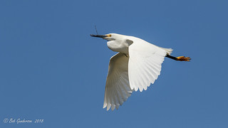 Snowy Egret with nesting materials