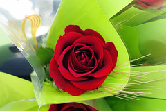 La rosa (Helena de Riquer) Tags: santjordi sanjorge rosa rose saintgeorgesday rosen rosaceae flickr ローズ 玫瑰 sony helenaderiquer sonydsch20 carlzeiss catalunya cataluña catalonia catalogne