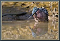 Thinking about ending it all (WanaM3) Tags: wanam3 nikon d7100 nikond7100 texas pasadena clearlakecity horsepenbayou bayou outdoors nature wildlife canoeing paddling animal bird heron greenheron