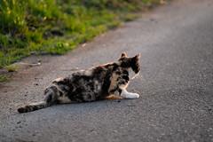 LR-DSCF9813 (studiofuntas) Tags: machineko yodogawa straycat higashiyodogawaku joggingroad road pet grass animal soil cat