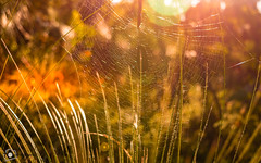 Sunset Spider's Web (tonyroberts5) Tags: spiderweb web sunset golden westernaustralia bushwalks busselton australia sunshine