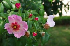 JLF18002 (jlfaurie) Tags: jardin garden bagatelle paris france francia parc parque 22072018 mpmdf jlfr jlfaurie mechas roseraie fleurs roses rosas