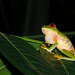 Banana Bank - Calling Red Eyed Frog