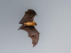 Sri Lanka '17_2235 (Jimmy Vangenechten 76) Tags: geo:lat=628671161 geo:lon=8127800678 geotagged srilanka ceylon asia azië indianocean indische oceaanwildlifeanimalbirddiervogelwirawila tissa sanctuarytissa lakesandungama roadfruit batsflying foxespteropus vampyruskalongvliegende vos vleerhond