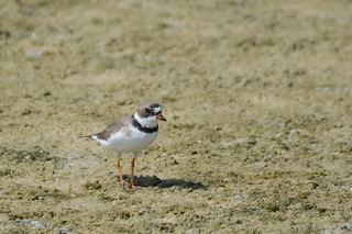 Semipalmated Plover 4-12-14