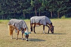 Zebras??? (mama knipst!) Tags: pferd horse cheval cavallo tier animal