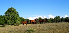 Good morning (the_maria_medic) Tags: horses arabian hackneyarabian farm hobbyfarm horsepasture
