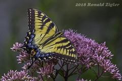 Tiger Swallowtail Butterfly on Joe-Pye Weed IMG_1796 (ronzigler) Tags: tigerswallowtail animal arthropod invertebrates insect butterfly swallowtail tiger