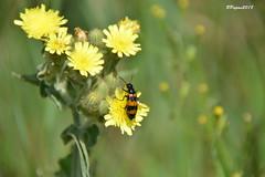 Mylabre inconstant / Mylabris variabilis (BPBP42) Tags: insecte fleur insectes animal nature flower bokeh