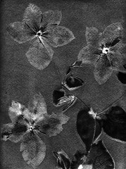 Clématites. Clematis. (Dguyzé) Tags: cyanotype cyano sunprint altprint bw photogram cameraless
