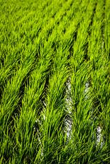 Growing Rice (schmaeche) Tags: agriculture rice reis feld field landwirtschaft japan takahama ishiokashi ibarakiken jp
