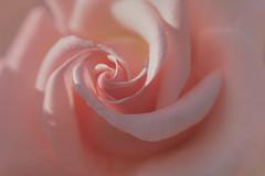 un rêve rose (christophe.laigle) Tags: rose christophelaigle fleur macro parcdelaroseraie gouttes nature flower fuji pink nantes drops xpro2 xf60mm pluie