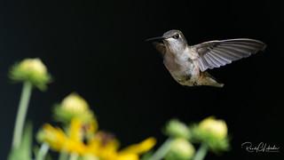 Ruby-throated hummingbird - Archilochus colubris   2018 - 4
