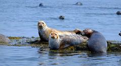 The Furry Eyeball (jtr27) Tags: dscf0276l jtr27 fuji fujifilm fujinon xe2s xtrans xc 50230mm f4567 ois oisii maine seal seals harborseal wildlife newengland