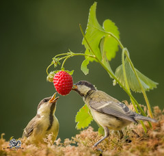 two titmouse are eating strawberries (Geert Weggen) Tags: outdoors picnic strawberry animalwildlife animalsinthewild autumn day dinner eating food foodanddrink fruit grass healthylifestyle horizontal meal nopeople old photography smelling speed summer sweden tasting woodland working sweet plant taste red bird tit titmouse square bispgården jämtland geert weggen ragunda hardeko